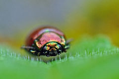Jewel Bug, Chrysolina fastuosa Royalty Free Stock Images