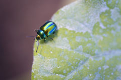 Jewel bug Royalty Free Stock Photo