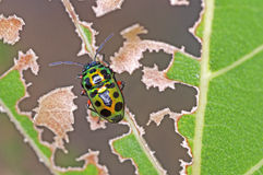 Jewel bug. Or metallic shield bug on the degraded leaf Royalty Free Stock Images