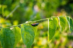 Jewel Bug Stock Images