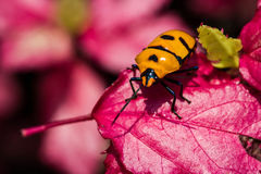 Jewel Bug on pink leaf Royalty Free Stock Photo