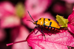 Jewel Bug on pink leaf Stock Photo
