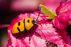 Jewel Bug on pink leaf Royalty Free Stock Photography