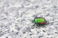 Jewel bug. Is staying on the marble floor Stock Images