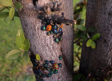Jewel Bugs - Harlequin Bugs Stock Photo