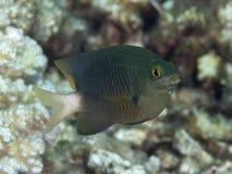 Jewel damselfish. In red sea Stock Images