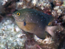 Jewel damselfish Royalty Free Stock Photos