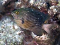 Jewel damselfish. In Red sea, Egypt, Hurghada Royalty Free Stock Photos