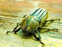 Jewel el escarabajo fotos de archivo libres de regalías