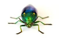 Jewel el escarabajo Fotografía de archivo