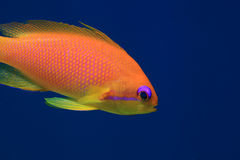 Jewel fairy basslet anthias fish Royalty Free Stock Photography