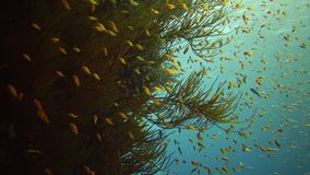 Jewel fairy basslet Pseudanthias squamipinnis and many other species of fish swim among the corals on the reef in the Red Sea stock video footage