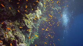 Jewel fairy basslet Pseudanthias squamipinnis and many other species of fish swim among the corals on the reef in the Red Sea stock footage