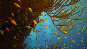 Jewel fairy basslet Pseudanthias squamipinnis and many other species of fish swim among the corals on the reef in the Red Sea. Egypt stock footage