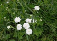 Jewel flower perennial Stock Photos