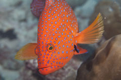 Jewel perch. A huge juwel perch at coral garden, Anse Volbert, Praslin, Seychelles stock images