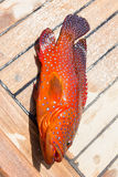 A jewel perch Royalty Free Stock Photography