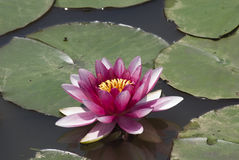 Jewel of the pond. Waterlily in pond stock photo