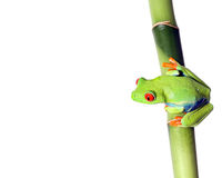 Jewel Of The Rainforest. Bright Red-Eyed Tree Frog perching on bamboo and isolated on white background Stock Image