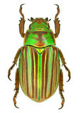Jewel scarab beetle Chrysina adelaida from Mexico Royalty Free Stock Photo