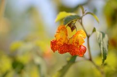 Jewel Weed closeup; yellow with orange speckles Royalty Free Stock Images