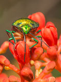 Jewele Bug Royalty Free Stock Photos