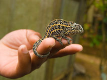 Jeweled Chameleon. (Furcifer campani). Pereyras Nature Farm, Marozevo, Madagascar Royalty Free Stock Photography