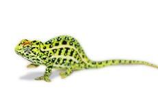 Jeweled Chameleon Royalty Free Stock Images
