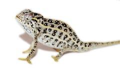 Jeweled Chameleon Royalty Free Stock Photo