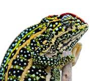 Jeweled Chameleon Royalty Free Stock Photography