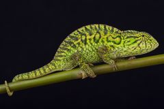 Jeweled chameleon / Furcifer lateralis. The jeweled chameleon is a medium sized lizard species found in Central Madagascar, including the capital of Antananarivo Royalty Free Stock Photo
