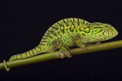 Jeweled chameleon / Furcifer lateralis Royalty Free Stock Photo