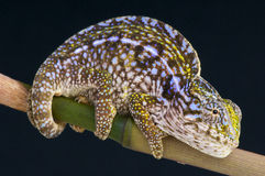 Jeweled Chameleon / Furcifer lateralis. The jeweled chameleon is a small spectacular chameleon species from central Madagascar Royalty Free Stock Photography