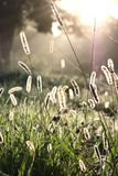 Jeweled Grass in the Morning Light Royalty Free Stock Photography