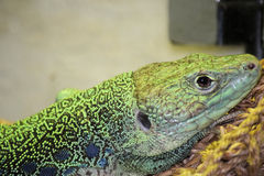 Jeweled Lacerta Lizard Close up. Green Jeweled Lacerta Lizard Close up sitting under the heat lamp Royalty Free Stock Photo
