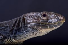 Jeweled lizard, melanistic / Timon lepidus. The jeweled lizard is the biggest lizard species on mainland Europe. A rare melanistic form exists Stock Photo
