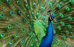Jeweled Peacock Stock Image