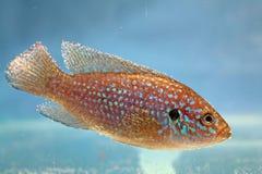 Jewelfish africano (bimaculatus di Hemichromis) Fotografia Stock