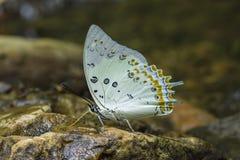 Jewell Butterfly Royaltyfri Bild