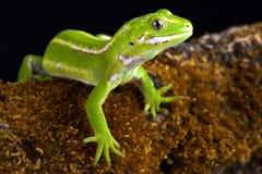 Jewelled Gecko Naultinus-gemmeus stockbilder