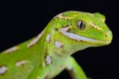 Jewelled Gecko Naultinus-gemmeus stockbild