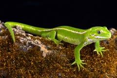 Jewelled Gecko Naultinus-gemmeus Stockfoto