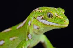 Jewelled gecko Naultinus gemmeus Stock Image