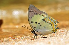 Jewelled nawab butterfly. Of thailand background Royalty Free Stock Image