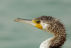 Jewels eye of Great Cormorant Royalty Free Stock Photography