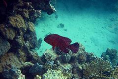 Jewels grouper fish Stock Photography