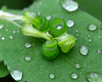 Jewelweed seed pod with water droplets. An empty Jewelweed seed pod on a leaf with rain droplets Stock Images