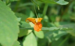 Jewelweedblume Stockfotos