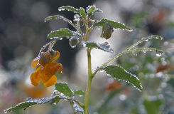 Jewelweeds Flower Stock Photos