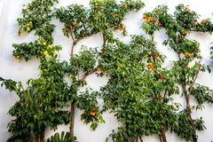 Cordoba - Lemmons and Tangerines in the Jewish quarter. Andalucia, Spain. stock photo